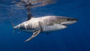 white shark by ken bondy in elasmobranchii fauna of the united states great white shark list of apex predators megafauna shark 300x169 2750507